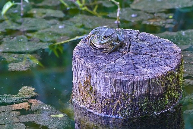 A large reptile in the water